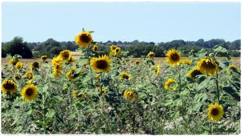 Sonneninsel Fehmarn und Sonnenblumen ....