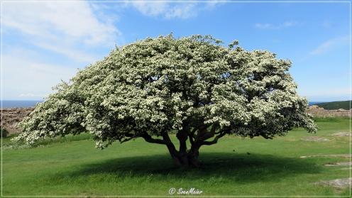 Bornholm - Baum in Burgruine Hammershus.